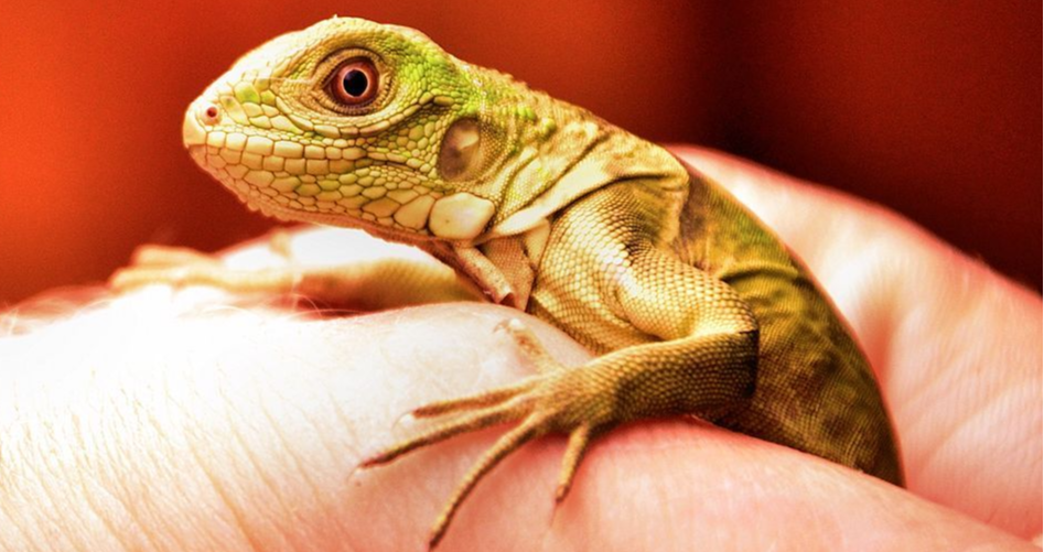 juvenile Iguana lizard care
