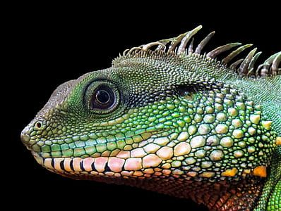 Iguana lizard closeup
