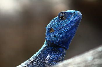 iguana lizard care - blue iguana